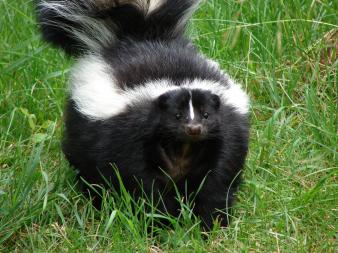 Get rid of skunk odors